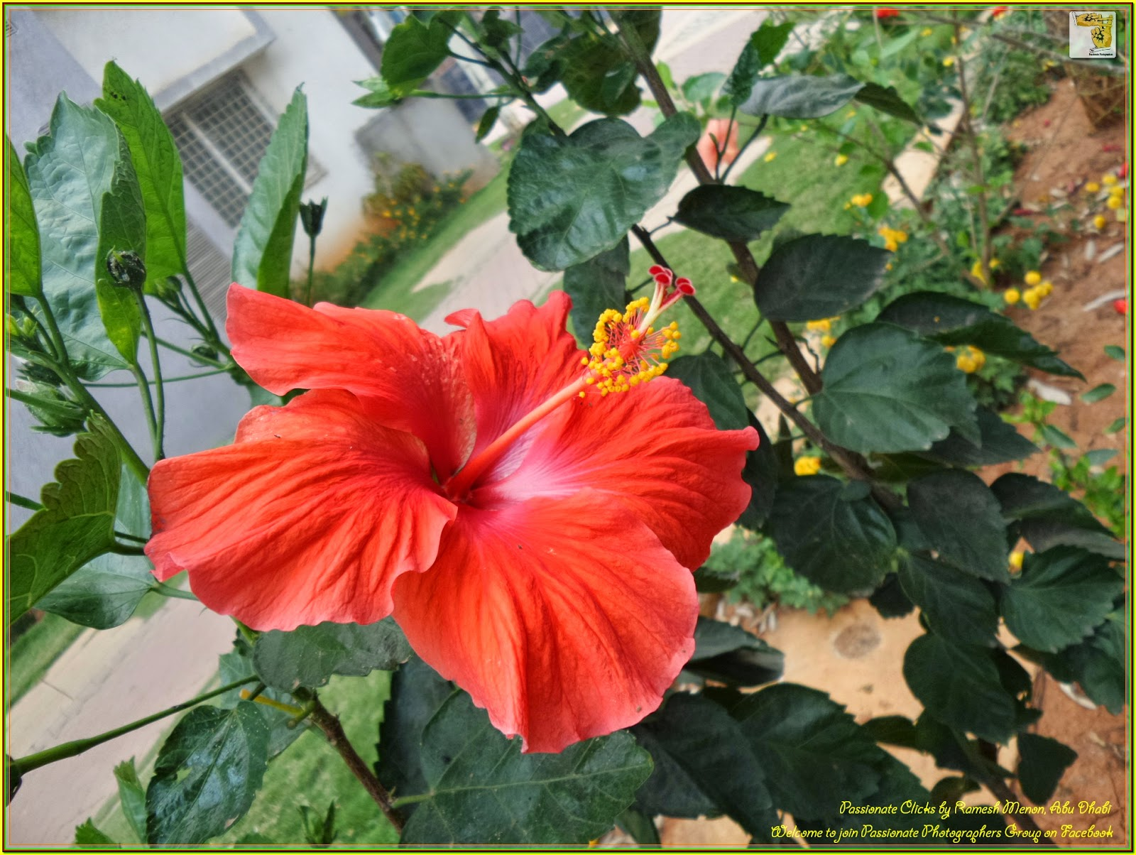 Hibiscus rosa sinensis a flower with full of medicinal values hibiscus rosa sinensis is a bushy evergreen shrub or small tree growing 255 m 816 ft tall and 153 m 510 ft wide with glossy leaves and solitary izmirmasajfo Choice Image